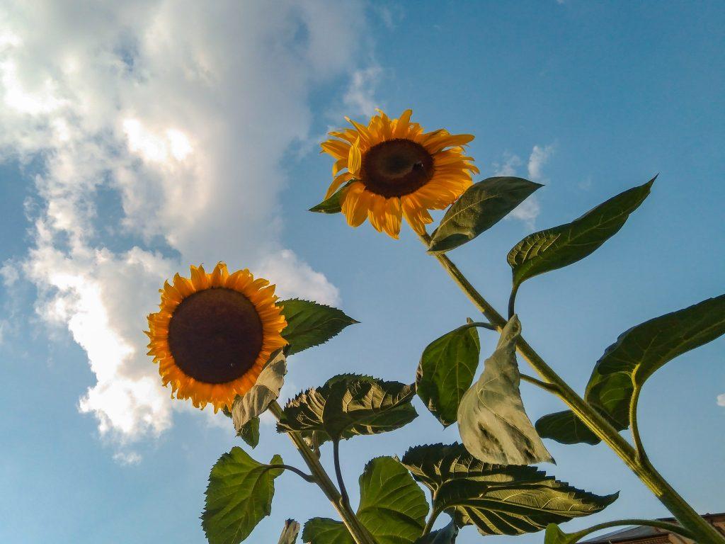 Zwei Sonnenblumen vor einem teil-bedeckten Himmel