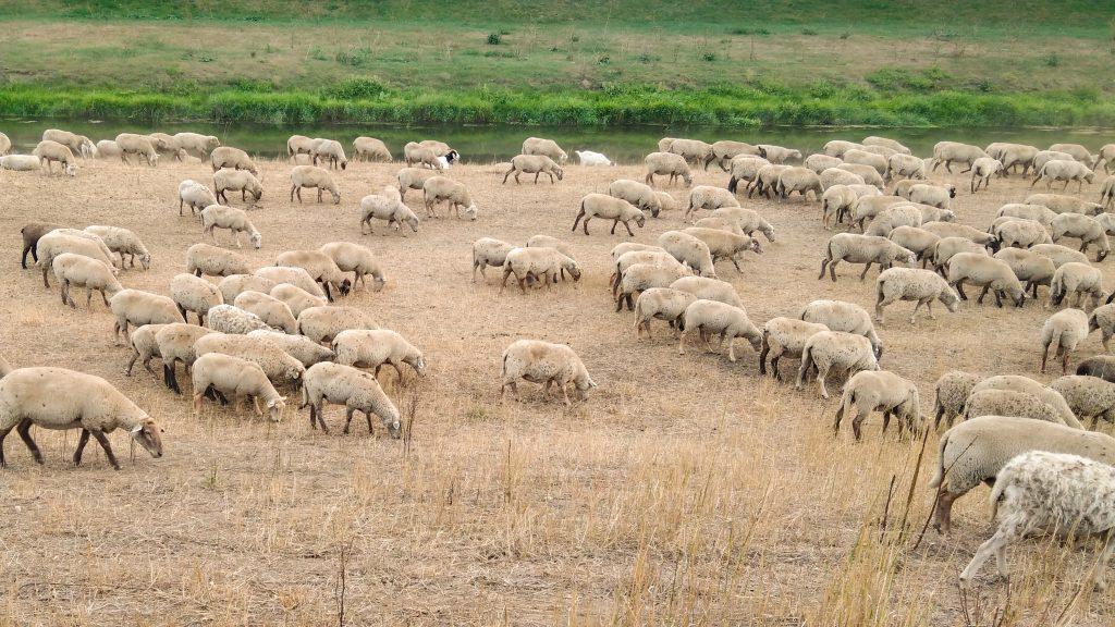 Von links nach rechts laufende Schafe beim Grasen an der Luppe