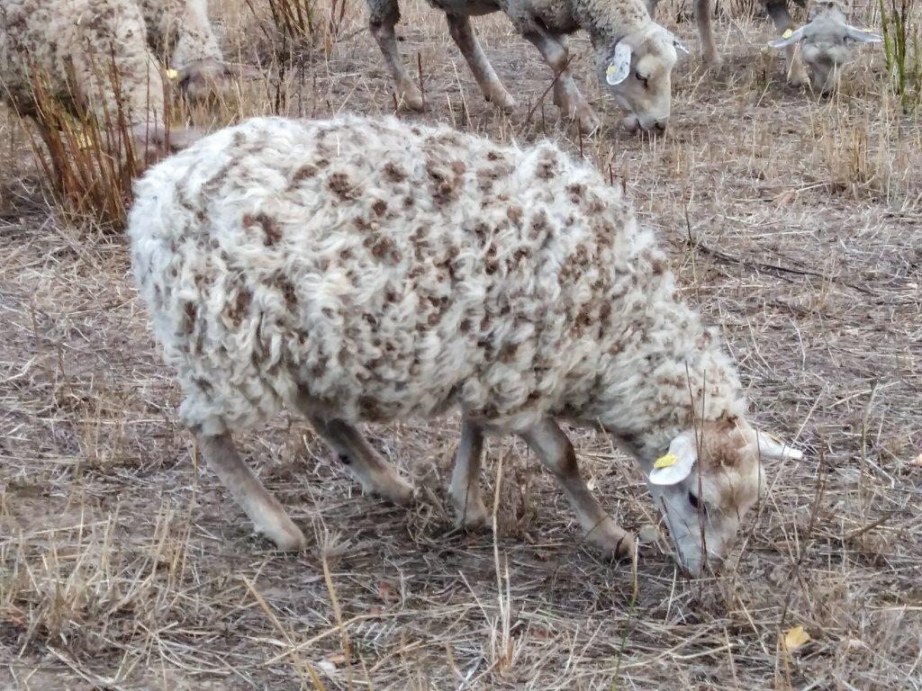 Ein Schaf übersät mit Kletten
