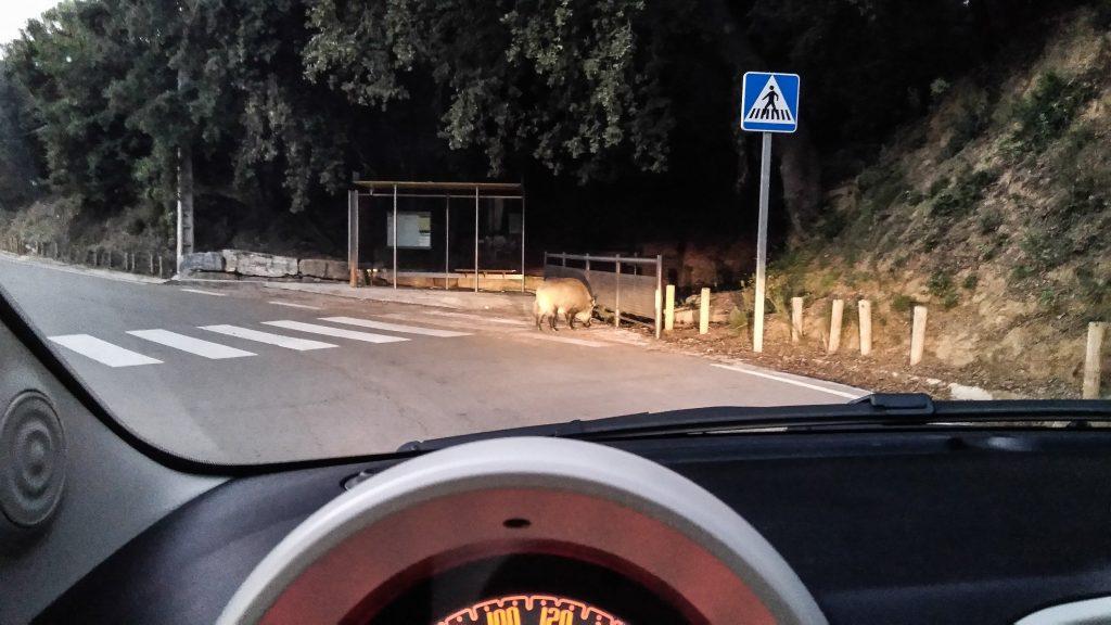 Blick aus dem Auto auf ein Wildschwein am Zebrastreifen