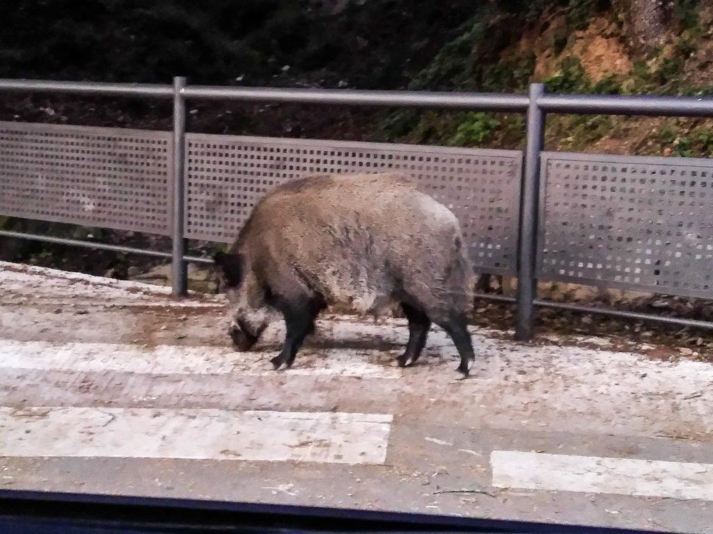 Wildschwein kurz vor der Überquerung des Zebrastreifens