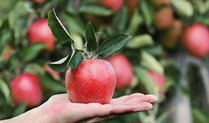 Ein frischer Apfel liegend auf einer ausgestreckten Hand